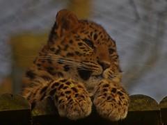 1082-17L (Lozarithm) Tags: owslebury hants marwell k50 55300 x14 hdpda55300mmf458edwr flickrbigcats bigcats leopards justpentax pentax zoom