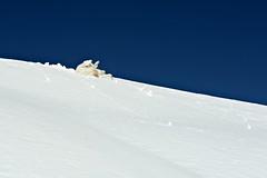 After the climb comes the fun. (balu51) Tags: winter down hund kuvasz spielen tiefschnee rutschen winterferien snowgliding aufdemrckenrunterrutschen blauerhimmelweissdunkelblauschneeschneeblledogplayingdeep