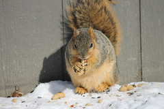 Squirrels on a Lovely Winter's Day at the University of Michigan (February 20, 2015) (cseeman) Tags: squirrels annarbor michigan animal campus universityofmichigan umsquirrels02202015 winter eating peanut snow cold feeder coreysfeeder rossschoolofbusiness rosssquirrel motownsquirrel02202015 motown februaryumsquirrel gobluesquirrels umsquirrel foxsquirrels easternfoxsquirrels michiganfoxsquirrels universityofmichiganfoxsquirrels