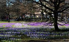 Hiroshima Park (♥ ♥ ♥ flickrsprotte♥ ♥ ♥) Tags: park flowers blumen lila kiel krokus schleswigholstein krokanten