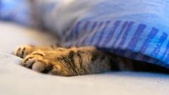 Cat paws under bed (piropiro3) Tags: blue tom cat bed bett decke blanket katze paws blau pfoten