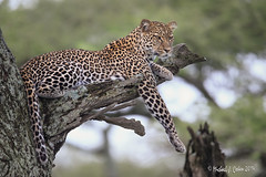 Tanzanian Leopard (MyKeyC) Tags: africa tanzania leopard todd