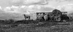 Sheep (wantie) Tags: winter mountains sheep mud feeding lakedistrict cumbria feed hay distance lakewindermere windermere trough langdales