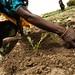 Farmer stirring the soil around cabbage seedlings