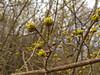 Kornel cherry (aniko e) Tags: diversity som dogwood corneliancherry cornusmas cornus cornaceae hartriegel gelberhartriegel europeancornel húsossom dürlitze kornelkircsche kornelcherry