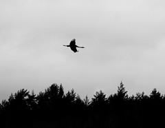 Ensamt majestät (tusenord) Tags: fåglar siluett trana fotosondag fs150329 friggesätter