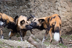 african wild dogs again (Cloudtail the Snow Leopard) Tags: wild dog animal mammal zoo african basel tier lycaon sugetier pictus canidae afrikanischer wildhund