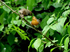 Snapshot this morning (BrigitteE1) Tags: food tree green bird nature robin leaves birds germany garden geotagged erithacusrubecula bremen europeanrobin rotkehlchen nestling specanimal feedingmom robinchickfeeding snapshotthismorning