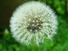 Blowball (Tim Niclas Marvin Mller) Tags: outdoor pusteblume blowball