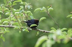 Cowbird (careth@2012) Tags: nature wildlife