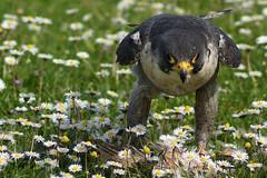 Peregrine Falcon with Prey (clare.blandford) Tags: photo day hawk events andover timeline birdsofprey conservancy