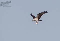 Osprey two-fer 5_26 (krisinct- Thanks for 12 Million views!) Tags: canon 500 f4 80d