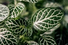 Fittonia verschaffeltii (WillemijnB) Tags: plant texture leaf pattern depthoffield foliage tangle montblanc organicpattern fittoniaverschaffeltii