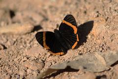Livre (Jonathan Carias e Sil Manu) Tags: brazil bird brasil butterfly natural natureza fotografia pssaros mata borboletas vegetao amaznia brasi
