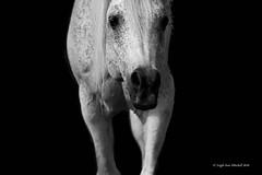 WATCHING (Leigh-Ann Mitchell Photography) Tags: horse pony arab arabian equestrian stallion