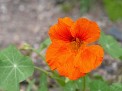 Tropaeolum sp. (the justified sinner) Tags: leica plant flower macro garden birmingham panasonic 28 tropaeolum westmidlands 45mm elmarit gx7 narsturtium justifiedsinner