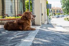 Little Buddy (Leonardo Caggianelli) Tags: road street italy dog brown sun streets dogs animal animals italia streetphotography sunny shade marche sunnyday