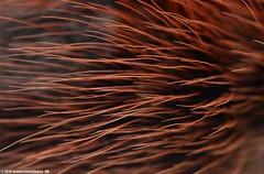 Avicularia versicolor - 07.06.2016 (Dimitri Knel) Tags: red black macro texture dark spider flash science theraphosidae abdomen ultramacro mygale sbr200 arthropodes laowa mygalomorphe