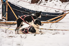 IMG_0371-1 (Andre56154) Tags: schnee winter snow husky sweden schweden hund snowfall sledge schlitten schlittenhund sledgedog schneefall