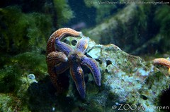 Gewone zeester - Asterias rubens - common sea star (MrTDiddy) Tags: sea zoo star starfish zee antwerp common rubens antwerpen zooantwerpen ster zeester asterias gewone