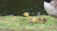Practice (cuppyuppycake) Tags: green bird nature animal nikon outdoor canadian goose gosling honk d7200