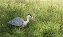 Grey Heron (Darwinsgift) Tags: england lake castle heron ed grey nikon d district micro af nikkor f4 muncaster 200mm ravenglass d810