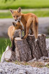 IMG_3657 red fox (starc283) Tags: nature canon wildlife fox kits kit predator redfox starc283