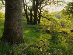 Into the light. (tony marfell) Tags: bluebells woodland oak woods ceredigion rspb ynyshir