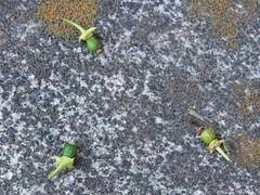 Baby, baby, baby... (poor citrus fruits) (nofrills) Tags: green floral fruits fruit season flora citrus
