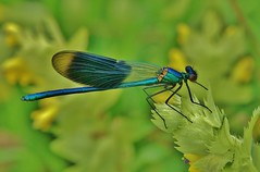 Blauflgel-Prachtlibelle (Calopteryx virgo) (Hugo von Schreck) Tags: macro insect dragonfly makro libelle insekt calopteryxvirgo greatphotographers blauflgelprachtlibelle onlythebestofnature tamron28300mmf3563divcpzda010 canoneos5dsr hugovonschreck