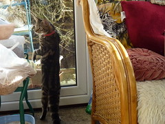 Come and See This ! (Mara 1) Tags: pet glass face animal standing chair kitten legs stripes tabby indoors