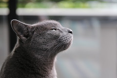smell in the air (dVaffection) Tags: cute animal cat grey whiskers paws russianblue cuty