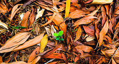 Stop trying to FIT IN ... You are Born to STAND OUT...   L A V A S A  D I A R I E S #5 (flytogalaxy) Tags: color nature leaf nikon 5 standout d3300 letscapture