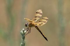 Halloween Pennant Dragonfly (maractwin) Tags: delaneywildlifemanagementarea dragonflies halloweenpennant massachusetts stow unitedstates us