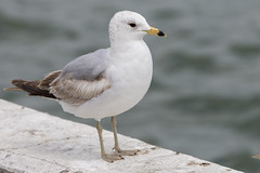 DUD_3788r (crobart) Tags: lake ontario bird birds port gull erie dover ringbilled