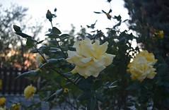 (marirenaa) Tags: trip sunset sky sun plant flower nature rose yellow night clouds hotel greece portaria volos pelio