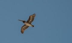 DSC_0348 (Copy) (pandjt) Tags: bird mexico pelican bajacaliforniasur mx cabosanlucas cabostlucas