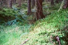 Enchanted Forest (strzez wartosci) Tags: film analog forest scotland highlands minolta hiking rangefinder trail westhighlandway minoltahimatic