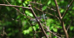 20160607095852_IMG_2235 (arielandrew) Tags: dragonfly closeup bug woods glenlyon canon eos 750d rebel t6i