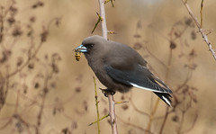 dusky woodswallow (Artamus cyanopterus)-3636 (rawshorty) Tags: birds australia canberra act jerrabomberrawetlands rawshorty