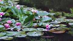 P5262147 (eriko_jpn) Tags: pond waterlilies pinkflower waterlilypond