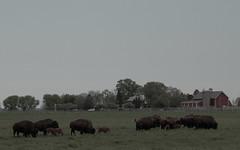 Buffalo, Fermilab. 12 (EOS) (Mega-Magpie) Tags: usa nature america canon outdoors eos illinois buffalo dupage il batavia kane fermilab winfield bison 60d