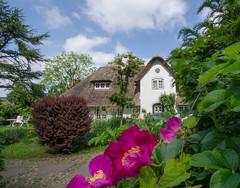 WKO_6921.jpg (banjo-kiel) Tags: rosen fhr reetdachhaus