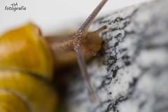 Schnecke (TH fotografie) Tags: macro canon tiere fotografie natur makro tamron garten schnecke frhling makrofotografie