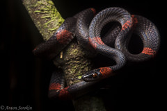 Fade to Black (antonsrkn) Tags: red wild black peru nature beautiful animal night forest dark outside nikon reptile snake stripes wildlife jungle nikkor biology mimic herp biodiversity herpetology tarapoto colubrid arboreal colubridae herping oxyrhopus vandicus cordilleraescallera