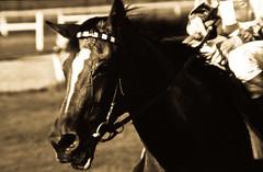 Totally exhausted (estenvik) Tags: erikstenvik estenvik fullblodshest hest racehorse vrevoll veddelp oslo norway 1970 blackandwhite monochrome