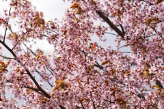 Hanami 2015 (Jori Samonen) Tags: tree finland cherry helsinki blossoms sakura hanami roihuvuori