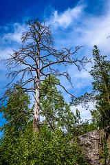 A naked tree (J.Dillemuth) Tags: tree blue sky nikon d750 sigma 24105 naked