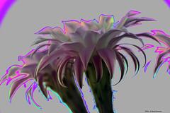 I confini dell'anima (Paolo Bonassin) Tags: flowers cactus flower art composition cactaceae rework echinopsis succulente cactacee artcomposition rielaborazioni