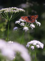 Scarce Fritillary (chaz jackson) Tags: macro butterfly hungary fritillary nymphalidae bukk scarcefritillary euphydryasmaturna